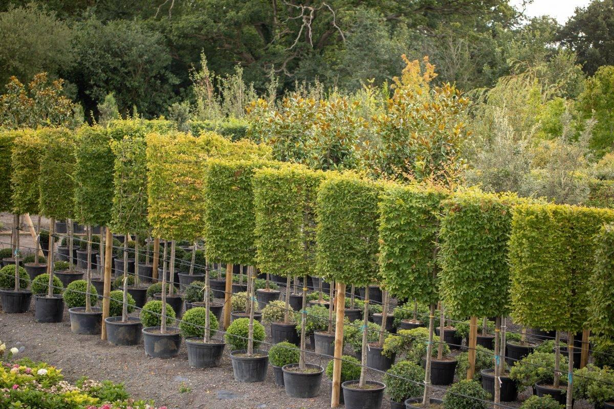 Commercial Pleached Trees Esher Weybridge Amp Surrey